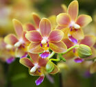 Orchid seeds High simulation flower Phalaenopsis Orchids Seeds -100 PCS