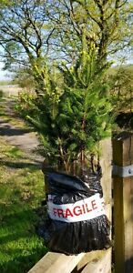 X10 Norway Spruce, 20-50cm Real  Living Christmas Tree, Cell Grown Plug Plants.