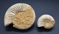 2 Fossilised Jurassic Perisphinctes Ammonite Cephalopod marine snails