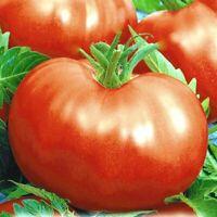 Seeds Tomato Russian Hercules Hero Giant Vegetable Organic Russian Ukraine