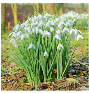 100 Spring Flowering Snowdrops Bulbs Available Now Naturalise Well