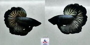 Live Betta Fish JA18 Male Young Black Dragon HM Premium Grade from Thailand