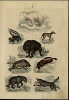 Bears Skunk Wolf Coyote Mammals scarce 1861 antique hand color nature print