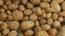 Yukon Gold Tps True Potato Seed 60 Organic Seeds Yellow Mix From Berries Usa