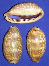 "Cypraea Zebra Measled Cowry Shell 2""/52mm. Specimen Collector Seashell (Each)"
