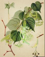 New listing Little-leaf Linden. 100 seeds. trees, seeds