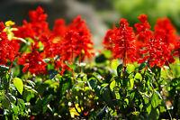 sage, scarlet, HUMMING BIRDS, red flower, 70 seeds! GroCo buy US USA*
