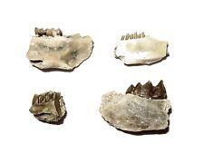 Oligocene jaw tooth fossil collection Palaeolagus Leptomeryx Ischyromys more