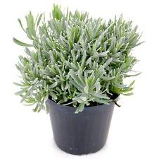 Italienischer Lavendel 15cm Topf, echter Lavendel Pflanze, Lavendula Angustifoli