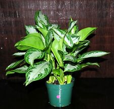 """Aglaonema Silver Bay Very Large Plant in 8"""" Pot Chinese Evergreen Tropical Plant"""