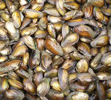 10 x SWAN MUSSELS  ***FREE DELIVERY*** (KOI POND GOLDFISH.)