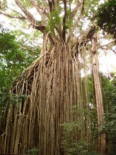 FICUS VIRENS - CURTAIN FIG TREE, 10 SEMI