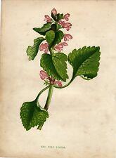 Antique botanical print :red dead nettle / Anne Pratt  1857