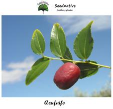 Azufaifo - Ziziphus lotus - 10 semillas - Saatgut - Graines - Semi
