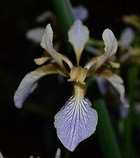 SEEDS- Iris foetidissima