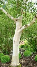 Erman's Birch! very white bark tree! ideal for Bonsai tree making too! RARE!