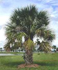 10 Hardy Sabal Palm Tree Cabbage Palmetto Flower Seeds