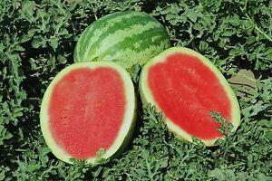 Wassermelone Crimson Sweet Samen fruchtig süß Wassermelonensamen