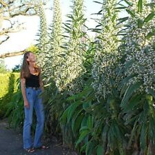 Flower - Echium - Snow Tower - 20 Seeds