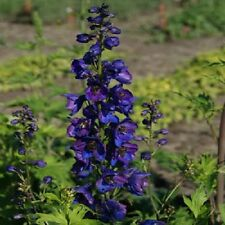 25+ Pacific Giant Black Knight Delphinium Flower Seeds / Perennial