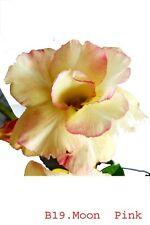 Succulent ,Adenium obesum noB19 moon pink,desert rose usa free ship