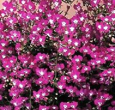 50 Multi Pelleted Lobelia Seeds Regatta Rose Seeds Trailing Lobelia