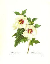 1991 Vintage REDOUTE FLOWER #54 HIBISCUS ROSE OF SHARON Color Art Lithograph