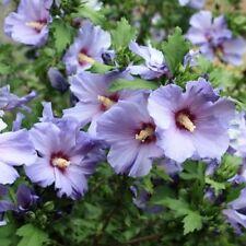 30 Graines d'Hibiscus Oiseau bleu Méthode BIO seeds Althéa fleurs vivace