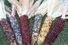 Decorative INDIAN CORN - 6 Multi-Colored Ears - Fall Autumn Ornamental  Colorful