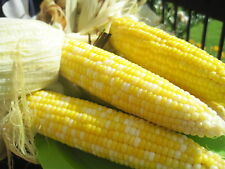 """Sweet Corn Seeds - BUTTER & SUGAR - 8"""" Bi-Color Cobs - BULK - 5 lbs. Seeds"""