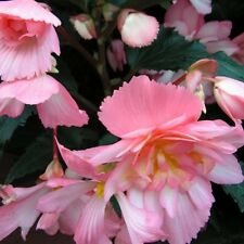 Begonia - Chanson Bicolour Pink & White - 10 Seeds