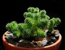 5 graines d'Arbre de Joshua (Sedum Multiceps)JOSHUA TREE SEEDS SAMEN SEMI H433