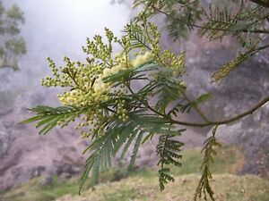 30 Black Wattle Tree Seeds (Acacia mearnsii)