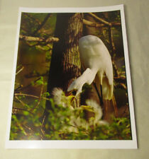 Beautiful Photograph of Great White Egrets, Louisiana 8 x10 Kodak Photo Paper