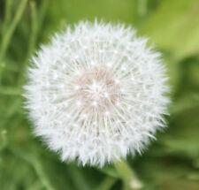 Organic Dandelion Seed - Diuretic & Tonic.