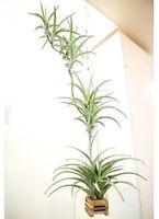 Rare variety bromeliad ,tillandsia flexuosa var vivipara L size,USA free shiping