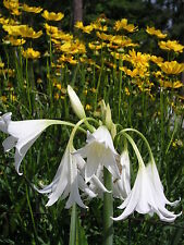 Crinum Lily, Hawaiian Lily, large, blooming-size bulb