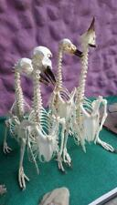 Taxidermy bird, skeletons . Magellanic PENGUIN skeleton with customs permit .