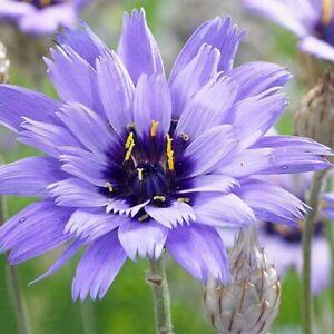 Catananche caerulea 'Armor Blue' / Cupid's Dart / Hardy Perennial / 80 Seeds