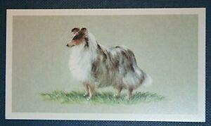 SHETLAND SHEEPDOG    Superb Illustrated Card