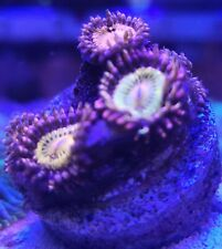 New listing Live Coral Frag Robbie's Corals Mohican Sun Zoanthid Polyps 2-3 Polyps