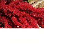 Amaranth, Red Garnet 320+ Fresh Hand Packaged Seeds