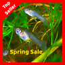 25+ Live Gambusia Mosquito Fish Aquarium Pond Feeder Fish Guppy Pet Guppies Bait