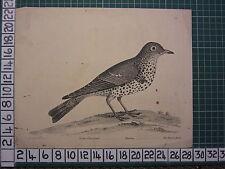 c1735 PRINT THE MISTLE BIRD ~ ANTIQUE BIRD PRINT ELEAZER ALBIN ~