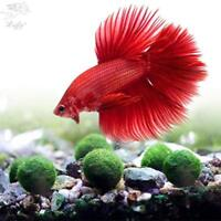 LUFFY Betta Balls : Live Round-Shaped Marimo Plant Natural Toys For Fish Safe