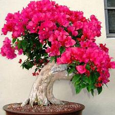 10 semillas Bougainvillea Spectabilis Willd Bonsai color rojo