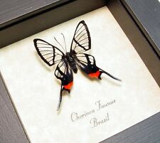 Real Framed Chorinea Faunus Red Glasswing Swallowtail Butterfly 447L