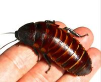 Adult Female - Giant Madagascan Hissing Cockroach ( Gromphadorhina portentosa)