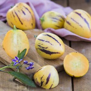 Pepino Melon 'Copa' 2L Plant. Melon Pear. Healthy fruit