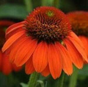 Echinacea (Coneflower) Sombrero® Adobe Orange Perennial Plug Plants Pack x6